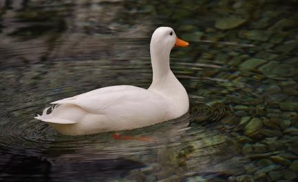 peking-duck-2144957_960_720